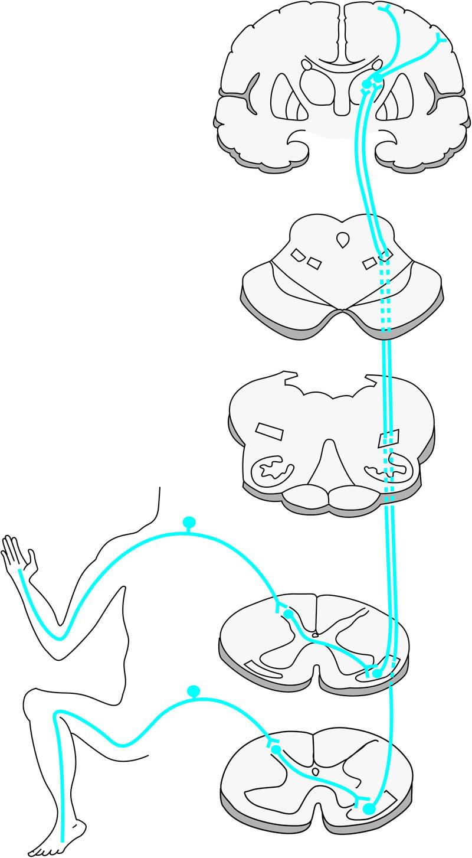 Abb. 10-1: Das Antero-Laterale System (ALS) im Rumpf- und Kopfbereich.