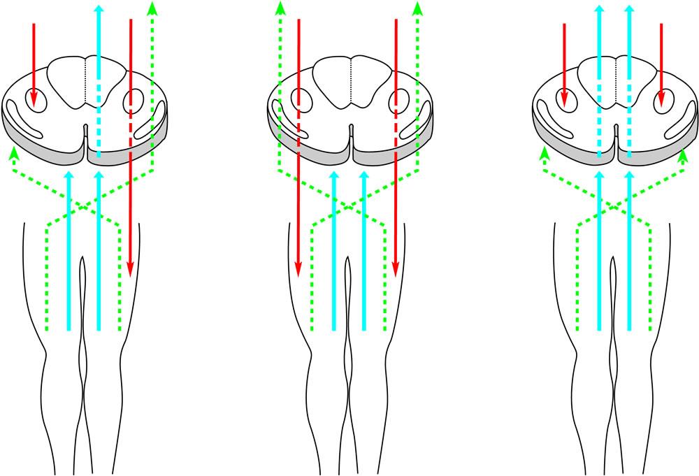 10 Aufsteigende somato-sensible Bahnen im <br />Rückenmark und Hirnstamm