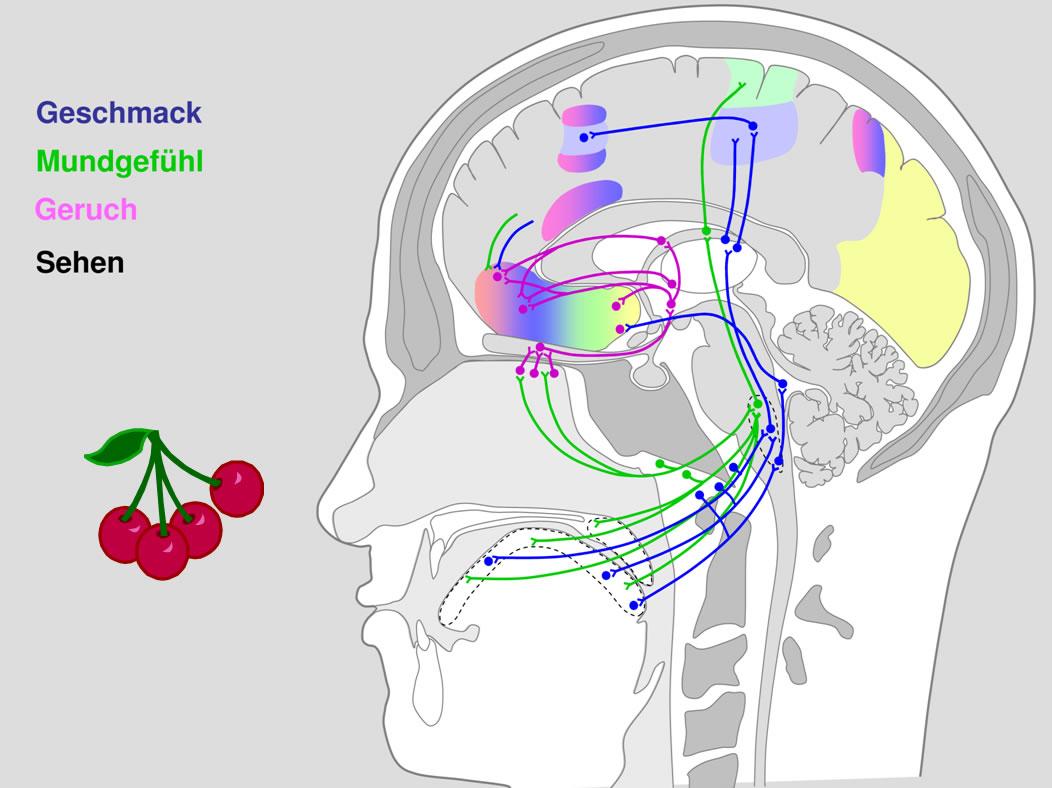 17 Geruchsinn (Olfaktorisches System)