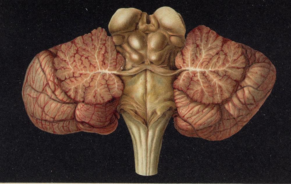 03 Makroskopische Anatomie des Zentralen Nervensystems (ZNS)