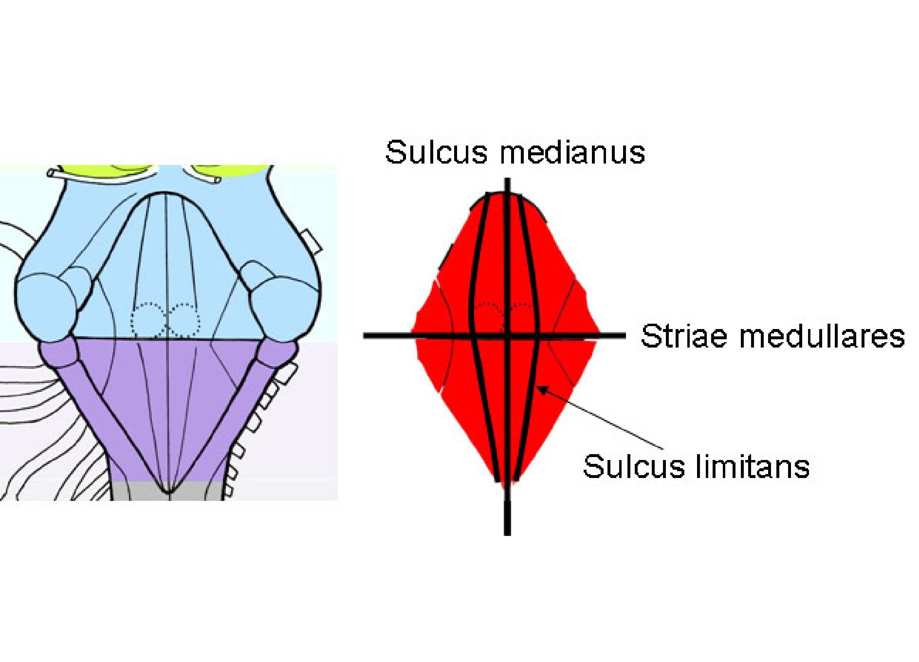 03 makroskopische anatomie des zentralen nervensystems zns for Boden 4 ventrikel