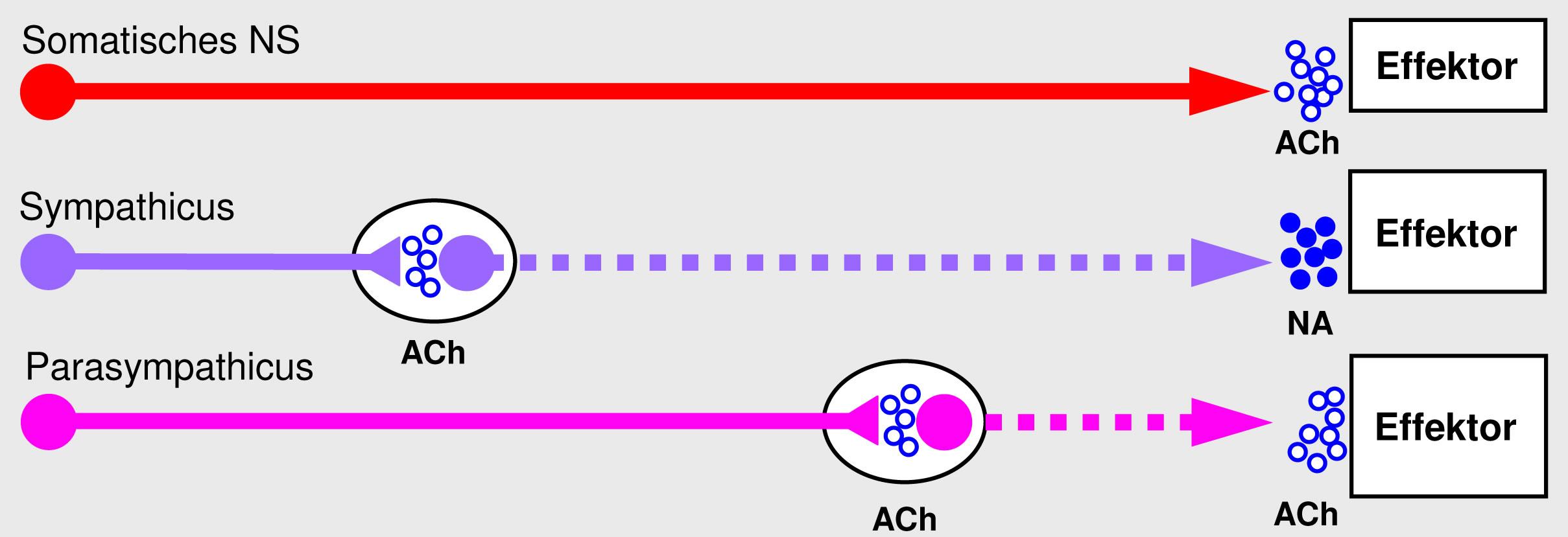 04 Peripheres Nervensystem (PNS)