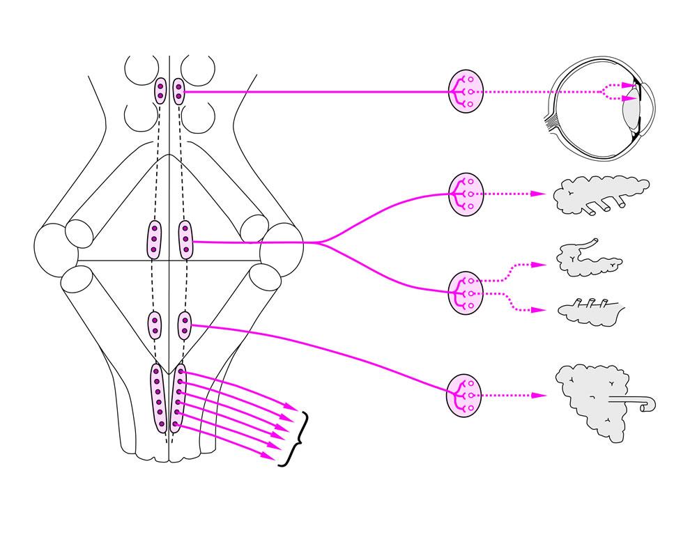 05 Das autonome (vegetative) Nervensystem (ANS)