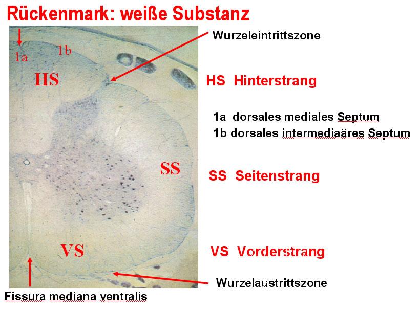 06 Rückenmark (Medulla spinalis)