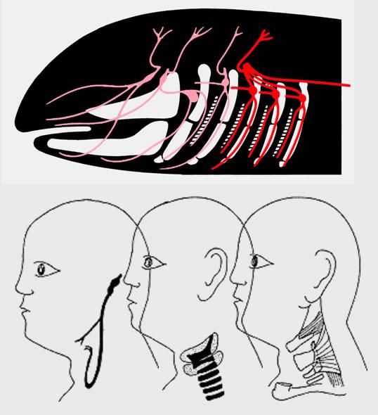 07 Hirnstamm (Truncus cerebri)