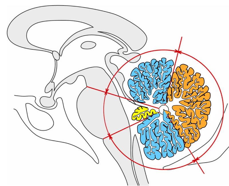 09 Kleinhirn (Cerebellum)