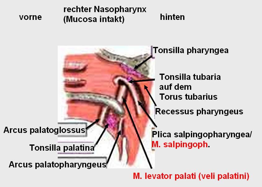 und M  palatopharyngeus  Palatoglossus Palatopharyngeus