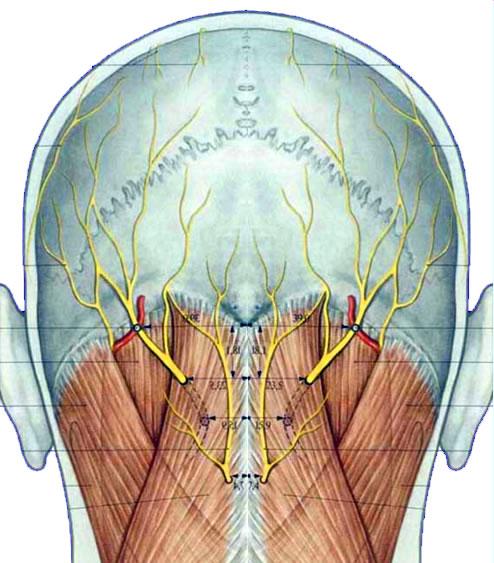 Hinterkopf Anatomie