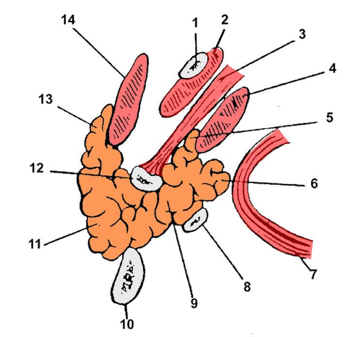 05 Regio retromandibularis, Glandula parotis, Plexus parotideus