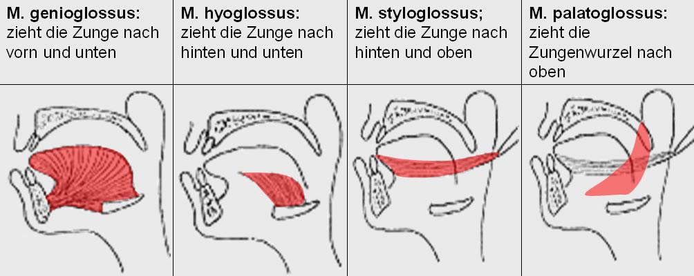 Zungenmuskulatur || Med-koM