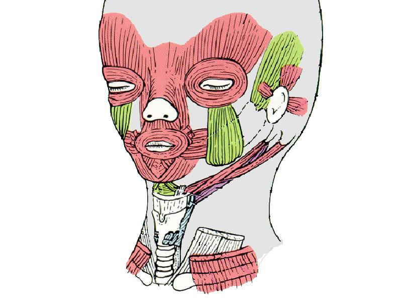 02 Oberflächliche Gesichtsregion: Mimische Muskulatur
