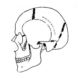 Abb. 6-2: M. temporalis: Adduktion, Retrusion