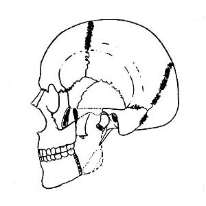 Abb. 6-3: M. masseter: Adduktion, Protrusion, Laterotrusion