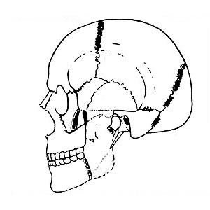 Abb. 6-4: M. temporalis: Adduktion, Retrusion